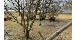 Kevät puutarhassa: Lehtipuut ja -pensaat